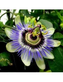 100 PCS Passion Flower Seeds Vine Fruit Passiflora Bonsai Seeds Home Garden