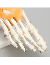 1:1 Human Skeleton Ligament Foot Ankle Joint Anatomical Anatomy Model