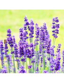 100 PCS Lavender Flower Seeds Flower Potted Plant Fast Growing Outdoor