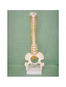 45CM Spine Model With Pelvis Femur Heads 1/2 Life Lab Equipment Detailed Toys
