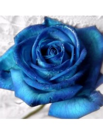 100 PCS Blue Dragon Rose Seeds Rare Beautiful Stripe Rose Bush Plant Garden